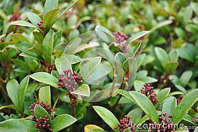 Autumn berries: skimmia