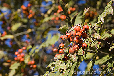 Autumn berry in forest