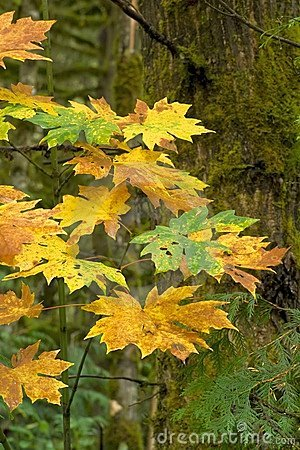 Autumn bigleaf maple