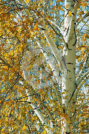 Free Autumn Birch Stock Photos - 34369083