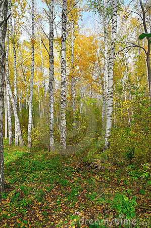 In autumn birch forest