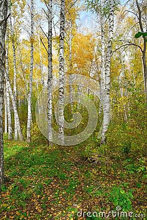 In autumn birch forest