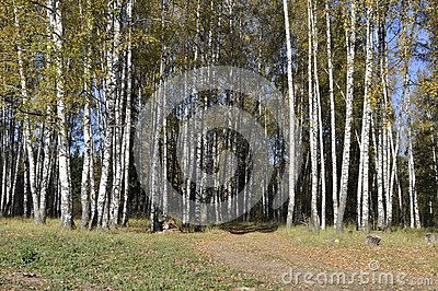 Autumn birch forest with dirt road