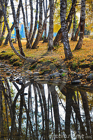 Autumn birch forest, reflection in the river
