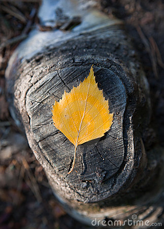 Autumn birch leaf on stump