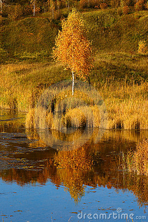 Autumn birch on river bank