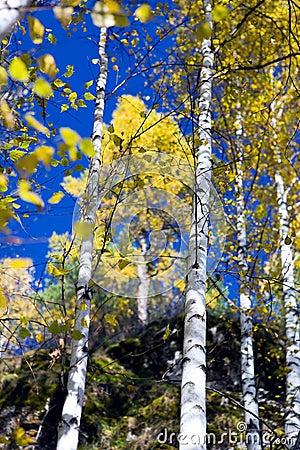 Autumn birches 3