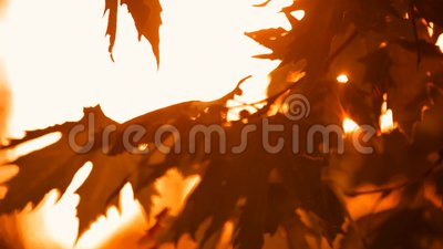 Autumn Branches And Leaves Of The Sycamore stock footage