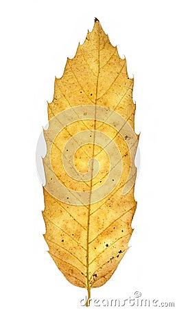 Free Autumn Chestnut Leaf Royalty Free Stock Photos - 21855858