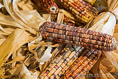 Autumn colored corn