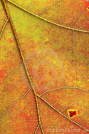 Autumn colors red orange yellow maple leaf detail