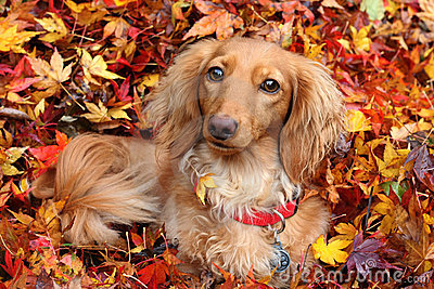 Autumn dachshund dog