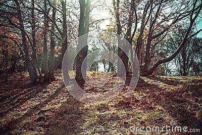 Autumn dawn in old beech forest Italian