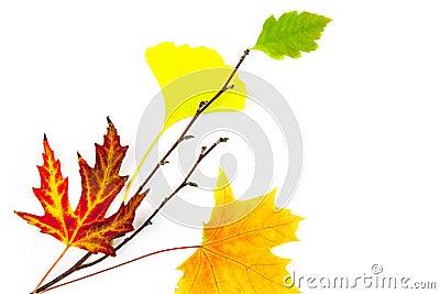 Autumn design element  / beautiful real leaves