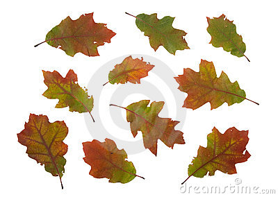 Autumn dry leaves of red oak tree