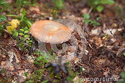 Autumn edible fungi - Lactarius torminosus