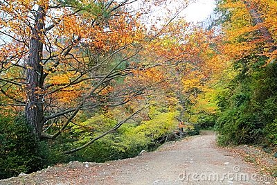Autumn fall colorful golden beech forest