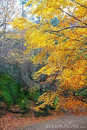 Autumn fall colorful golden beech forest trees