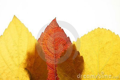 Autumn, fall leaves still  white background