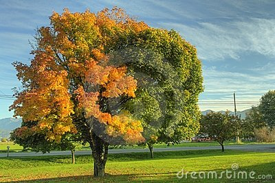 Autumn Fall Maple Tree