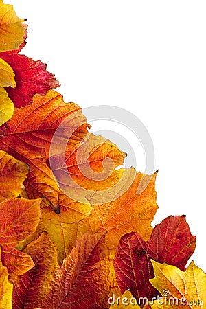 Autumn. Fall viburnum leaves