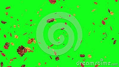 Autumn Falling Leaves On Green Screen Chroma Key Editable Background Stock Video Video Of Blossom Editable 149658243