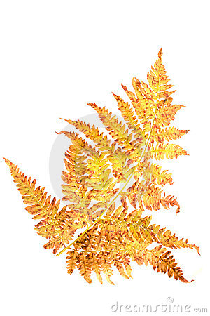 Free Autumn Fern Leaf Royalty Free Stock Photos - 3145358