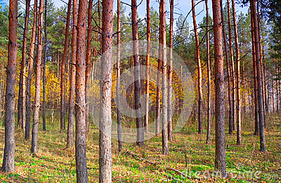 In autumn forest with pines