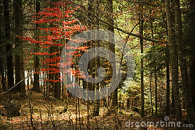 Autumn forest and red tree
