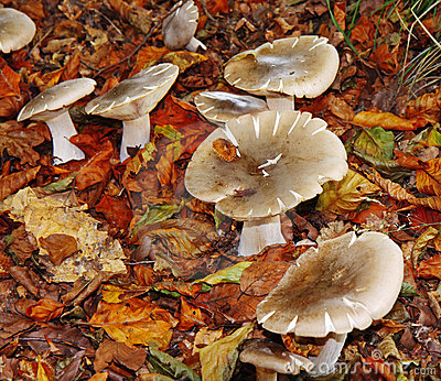 Autumn Fungi amongst fallen leaves