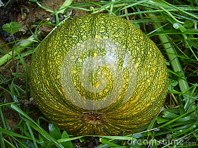 Autumn Gold Pumpkin