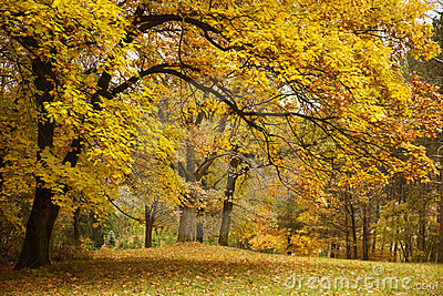 Autumn / Gold Trees in a park