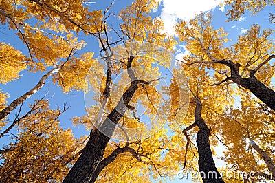 Of golden ash trees against blue sky location golden colorado usa
