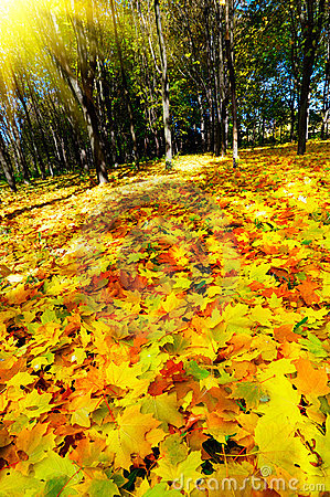 Autumn in the golden forest.