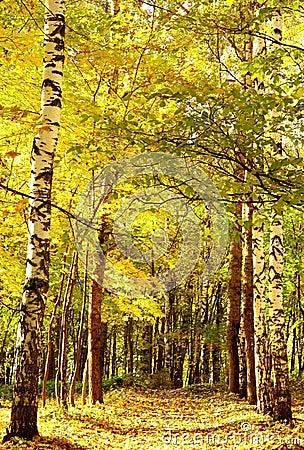 Autumn golden sunlight path in october mixed forest