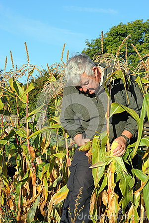 Free Autumn Harvest, Collecting Maize. Royalty Free Stock Images - 27053269