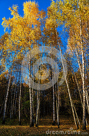 Free Autumn Landscape With Silver Birches Royalty Free Stock Images - 61610869