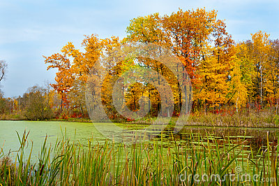 Autumn landscape of yellow trees and a pond