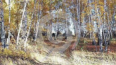Autumn landschap, heldere zonnige dag, berkenbomen stock video