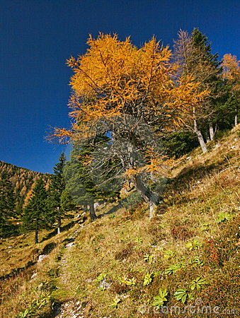 Autumn larch tree in Alps