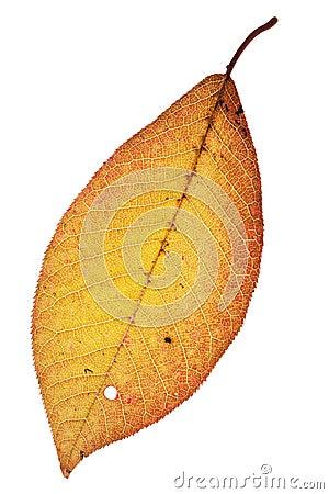 Free Autumn Leaf Royalty Free Stock Image - 16532806