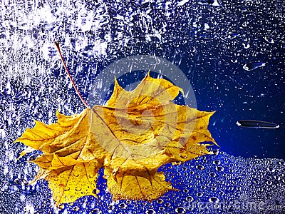 Autumn leaf floating on water with rain.