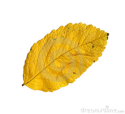 Autumn leaf of a Japanese rose, top surface