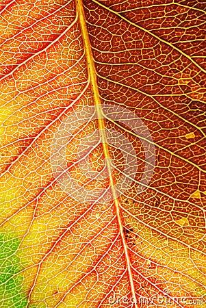 Autumn Leaf Macro