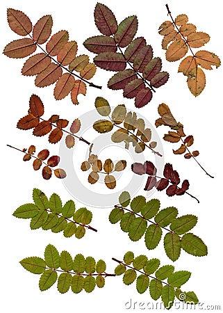 Autumn leaflets close up