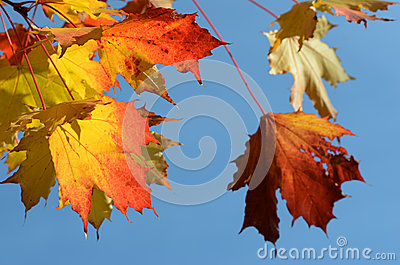 Autumn leaves against the clear sky