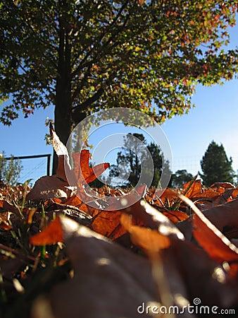 Autumn leaves in Australia
