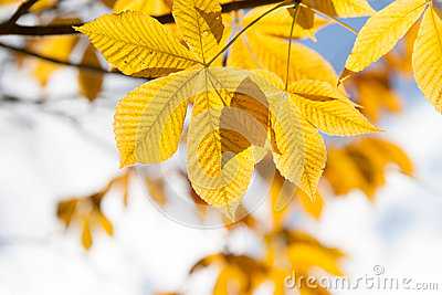 Autumn leaves of chestnut  in sunlight
