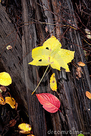 Autumn leaves on dead wood.