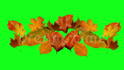 Autumn Leaves Falling Green Screen Stock Video Video Of Maple Natural 55632003